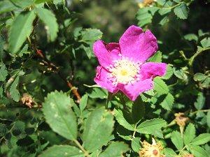 az rose