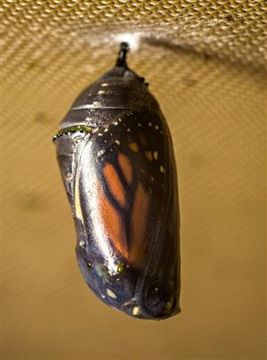 A chrysalis right before the butterfly emerges